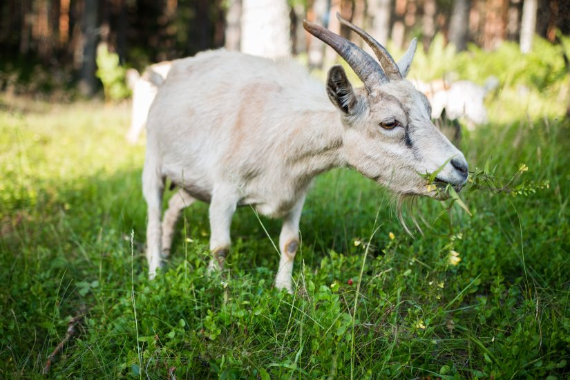 white-goat-eating-grass-1228438